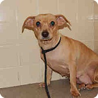 Adopt A Pet :: Clara - Only $55 adoption!!! - Litchfield Park, AZ