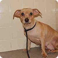 Italian Greyhound/Dachshund Mix Dog for adoption in Litchfield Park, Arizona - Clara - Only $55 adoption!!!