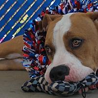 American Pit Bull Terrier/Basset Hound Mix Dog for adoption in San Diego, California - Belgium