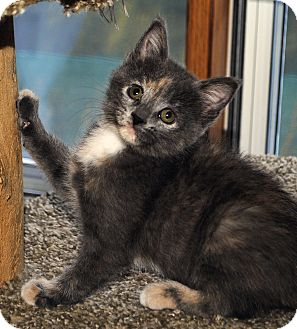 Domestic Shorthair Kitten for adoption in Middleton, Wisconsin - Nell