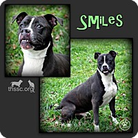 American Pit Bull Terrier Mix Dog for adoption in Sullivan, Indiana - Smiles