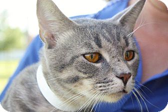 Domestic Shorthair Cat for adoption in Angola, Indiana - Pablo