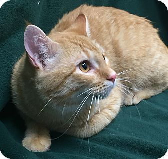 Domestic Shorthair Cat for adoption in Watauga, Texas - Dave