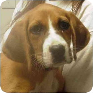 Boxer Mix Puppy for adoption in Alexandria, Virginia - Chloe