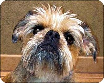 Brussels Griffon Dog for adoption in Los Angeles, California - TESS - ADOPTION PENDING