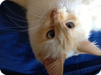RagaMuffin Cat for adoption in Jeffersonville, Indiana - Miranda
