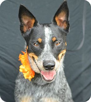 Blue Heeler Dog for adoption in Plano, Texas - Ruby