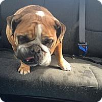 Adopt A Pet :: Stella - Huntingdon Valley, PA
