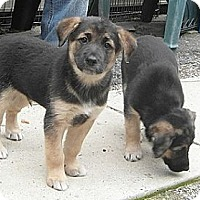 Adopt A Pet :: Puppies - 2F/2M - Hamilton, ON