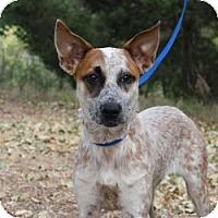 Adopt A Pet :: Felicia - Conway, AR