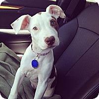 Adopt A Pet :: Bean - Los Angeles, CA