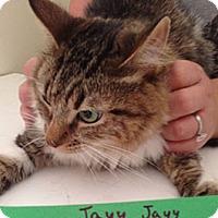 Domestic Mediumhair Cat for adoption in Mesa, Arizona - Jay Jay