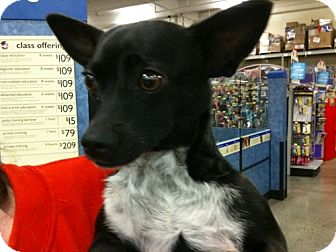 Manchester Terrier/Smooth Fox Terrier Mix Dog for adoption in Fresno, California - Tomohawk