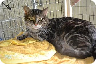Domestic Shorthair Cat for adoption in East Smithfield, Pennsylvania - Aurora