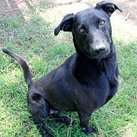 Labrador Retriever Dog for adoption in Memphis, Tennessee - Hurley