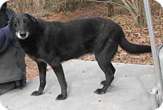 Belgian Malinois Dog for adoption in Cochran, Georgia - Ash