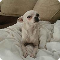 Adopt A Pet :: Ambrosia - Las Vegas, NV