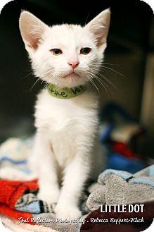 scottish forest cat