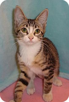 Domestic Shorthair Kitten for adoption in Orlando, Florida - Nymph (JFS) 4.10.16