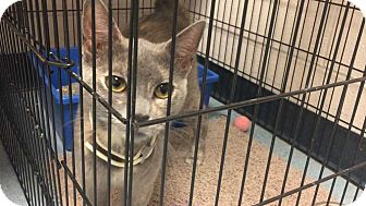 Domestic Shorthair Cat for adoption in Mustang, Oklahoma - Nike