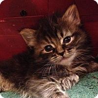 Adopt A Pet :: NICKEL - Lakewood, CA