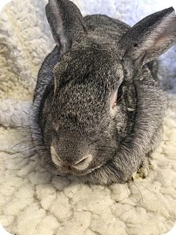 Chinchilla, Standard Mix for adoption in Idaho Falls, Idaho - Camille