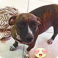 Adopt A Pet :: Athena - Miami, FL