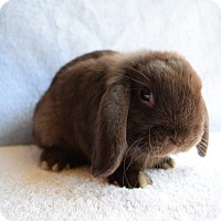 Adopt A Pet :: Chocolate - Fountain Valley, CA