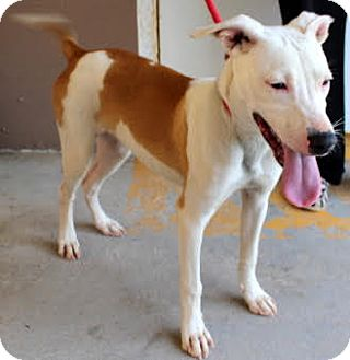 Bull Terrier Mix Dog for adoption in Summerville, South Carolina - Buttercup