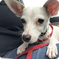Adopt A Pet :: BOO - 11 MO CHIHUAHUA MALE - Mesa, AZ