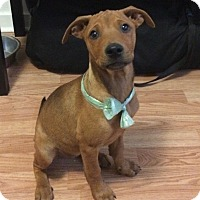 Adopt A Pet :: Roo (DENVER) - Fort Collins, CO