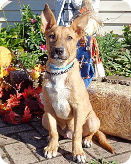 Carolina Dog Mix Puppy for adoption in West Chicago, Illinois - AwTom