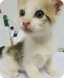 Calico Kitten for adoption in Lincolnton, North Carolina - Jam