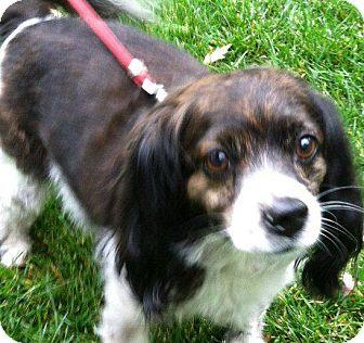 Cockapoo Dog for adoption in Thompson Falls, Montana - Muffin