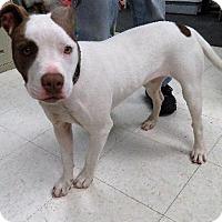 Adopt A Pet :: VooDoo - Van Wert, OH