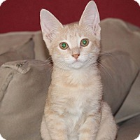 Domestic Shorthair Kitten for adoption in San Antonio, Texas - Carlos