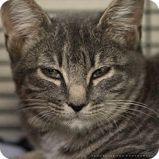 Domestic Shorthair Kitten for adoption in Houston, Texas - KILEY