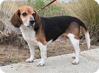 Beagle Mix Dog for adoption in Charelston, South Carolina - Jordy
