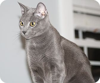 Domestic Shorthair Cat for adoption in Hayes, Virginia - Alan