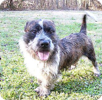 Corgi/Petit Basset Griffon Vendeen Mix Dog for adoption in Mocksville, North Carolina - Grover