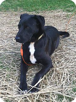 Australian Shepherd/Labrador Retriever Mix Dog for adoption in Indian Trail, North Carolina - Toby