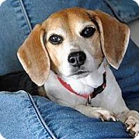 Adopt A Pet :: Bandit Joe - Phoenix, AZ