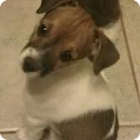 Adopt A Pet :: bogart - Phoenix, AZ