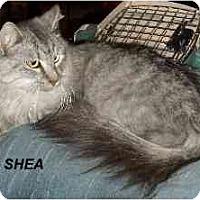 Adopt A Pet :: Shea - Jacksonville, FL