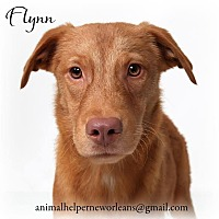 Adopt A Pet :: Flynn - New Orleans, LA