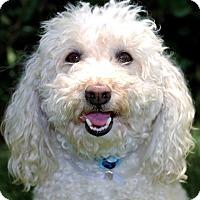 Adopt A Pet :: Pepino - I do not shed! - Yorba Linda, CA