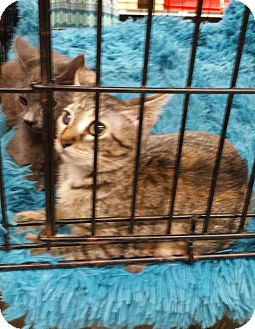 Domestic Mediumhair Cat for adoption in St. Cloud, Florida - Little Princess