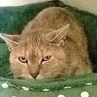 Domestic Shorthair Cat for adoption in New York, New York - Georgi Girl (Westhampton)