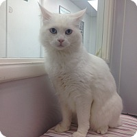 Adopt A Pet :: Lacey - Newport Beach, CA