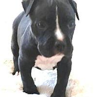 Adopt A Pet :: Bugatti - Marietta, GA